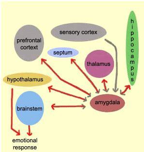 Amygdala - an overview ScienceDirect Topics