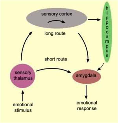 Essay on amygdala in emotionally